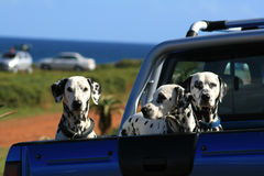 Dalmatians on board. Three Dalmatian dogs on the back of a car at the sea Royalty Free Stock Image