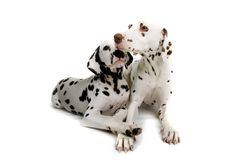 Dalmatians cuddling Royalty Free Stock Photos