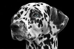 Dalmatians, Dog, Animal, Head Royalty Free Stock Photo