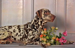 Dalmatians and flowers. Beautiful Dalmatian lying beside flowers royalty free stock photography