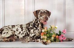 Dalmatians and flowers. Beautiful Dalmatian lying beside flowers stock photo