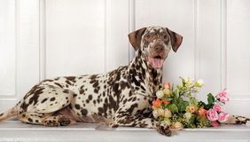 Dalmatians and flowers. Beautiful Dalmatian lying beside flowers royalty free stock images