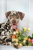 Dalmatians and flowers. Beautiful Dalmatian lying beside flowers stock photos