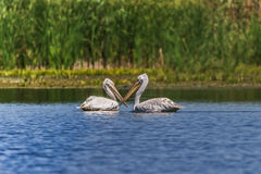 Dalmatians Pelicans (Pelecanus crispus) Royalty Free Stock Photography