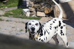 Dalmatians protected areas royalty free stock images