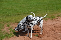 Dalmatians in sand pit Royalty Free Stock Photos