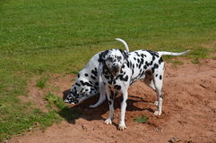 Dalmatians in sand pit Royalty Free Stock Photo
