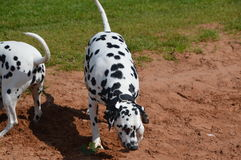 Dalmatians in sand pit Royalty Free Stock Photography