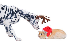 Dalmatians sniffing rabbit in the Santa hat. Royalty Free Stock Images