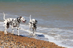 Dalmatians walking in the sea. Two Dalmatians paddling in the sea royalty free stock image