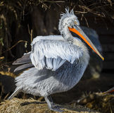 Dalmatican pelican Royalty Free Stock Images