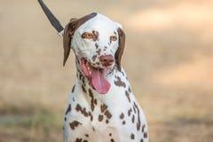 Free Dalmatien Adult Dog Royalty Free Stock Photos - 124628108