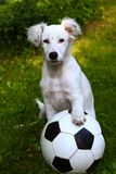 Dalmatin white puppy dog play with soccer football ball Royalty Free Stock Photo