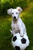 Dalmatin white puppy dog play with soccer football ball Stock Photos
