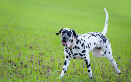 Dalmatiner Lizenzfreies Stockbild