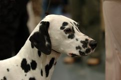 Dalmatiner Stockfotos