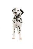 Dalmatiner Lizenzfreie Stockbilder