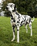 Dalmatiner Stockbild