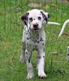Dalmatiner Lizenzfreies Stockfoto