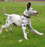Dalmatiner Lizenzfreie Stockfotos
