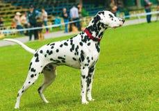 Dalmatiner auf Wettbewerb lizenzfreie stockfotos