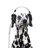 Dalmatiner, der Musik hört Stockbild