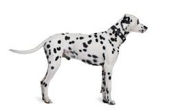 Dalmatiner, der vor weißem Hintergrund steht Stockfoto