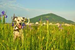 Dalmatiner geht in das Gras und in die Blumen auf dem Hintergrund des Berges Lizenzfreie Stockfotos