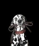 Dalmatiner hält die Leine Lizenzfreie Stockbilder