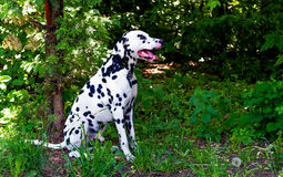 Dalmatiner im Wald stockfotos
