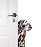 Dalmatiner mit einer Leine späht heraus von hinten die Tür Lizenzfreies Stockfoto