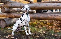 Dalmatiner setzt nahe Klotz Lizenzfreie Stockfotografie