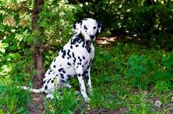 Dalmatinerrecht lizenzfreie stockbilder