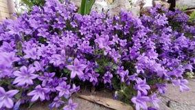 Dalmatinische Glockenblumen, Glockenblume stock video footage