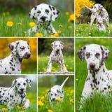 Dalmatinische Hunde Stockfotos