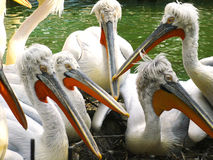 Dalmatinische Pelikane/Pelecanus crispus lizenzfreie stockbilder