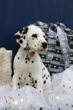 Dalmatinische Welpen- und Weihnachtsgeschenke Stockfoto