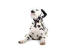 Dalmatinischer Hund Lizenzfreies Stockfoto