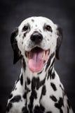 Dalmatinischer Hund auf Schwarzem Stockbilder