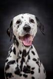 Dalmatinischer Hund auf Schwarzem Stockfoto
