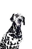 Dalmatinischer Hund auf Weiß Stockfotografie