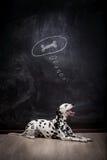Dalmatinischer Hund, der über einen Knochen träumt Stockfoto