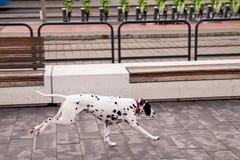 Dalmatinischer Hund, der auf dem Bürgersteig läuft lizenzfreie stockfotografie