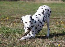 Dalmatinischer Hund, der auf einem Steuerknüppel kaut lizenzfreie stockbilder