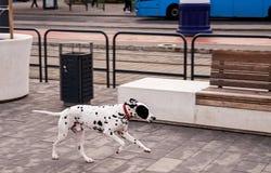 Dalmatinischer Hund, der auf der Straße allein läuft lizenzfreies stockfoto
