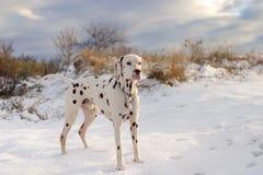 Dalmatinischer Hund, der im Schnee bei Sonnenuntergang aufwirft stockfoto