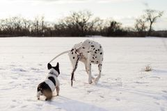 Dalmatinischer Hund, der mit einem Stock, mit einer französischen Bulldogge spielt lizenzfreies stockbild
