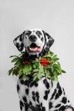 Dalmatinischer Hund in einer Halskette der Eberesche Stockbilder