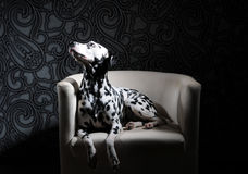 Dalmatinischer Hund in einer roten Fliege auf einem weißen Stuhl in einem Stahl-grauen Innenraum Harte Studiobeleuchtung Künstler Stockfotografie