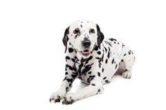 Dalmatinischer Hund, lokalisiert auf Weiß Lizenzfreie Stockfotos